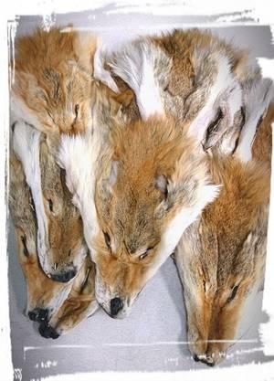 Coyote huvud